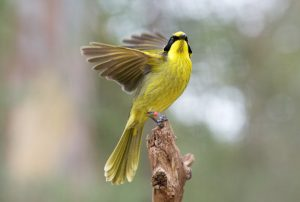 Helmeted Honeyeater sitting on a branch with it's swing spread out