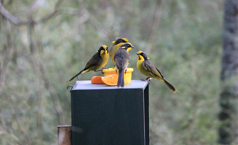 Four released Helmeted Honeyeaters sitting on a  plinth eating cut oranges